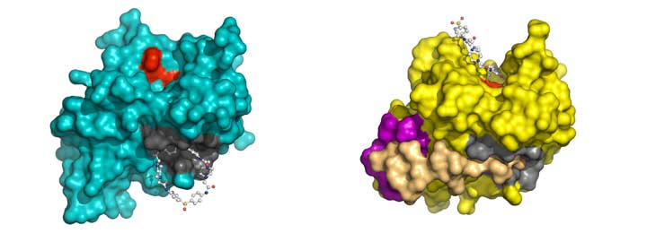 Structures of the adenovirus proteinase