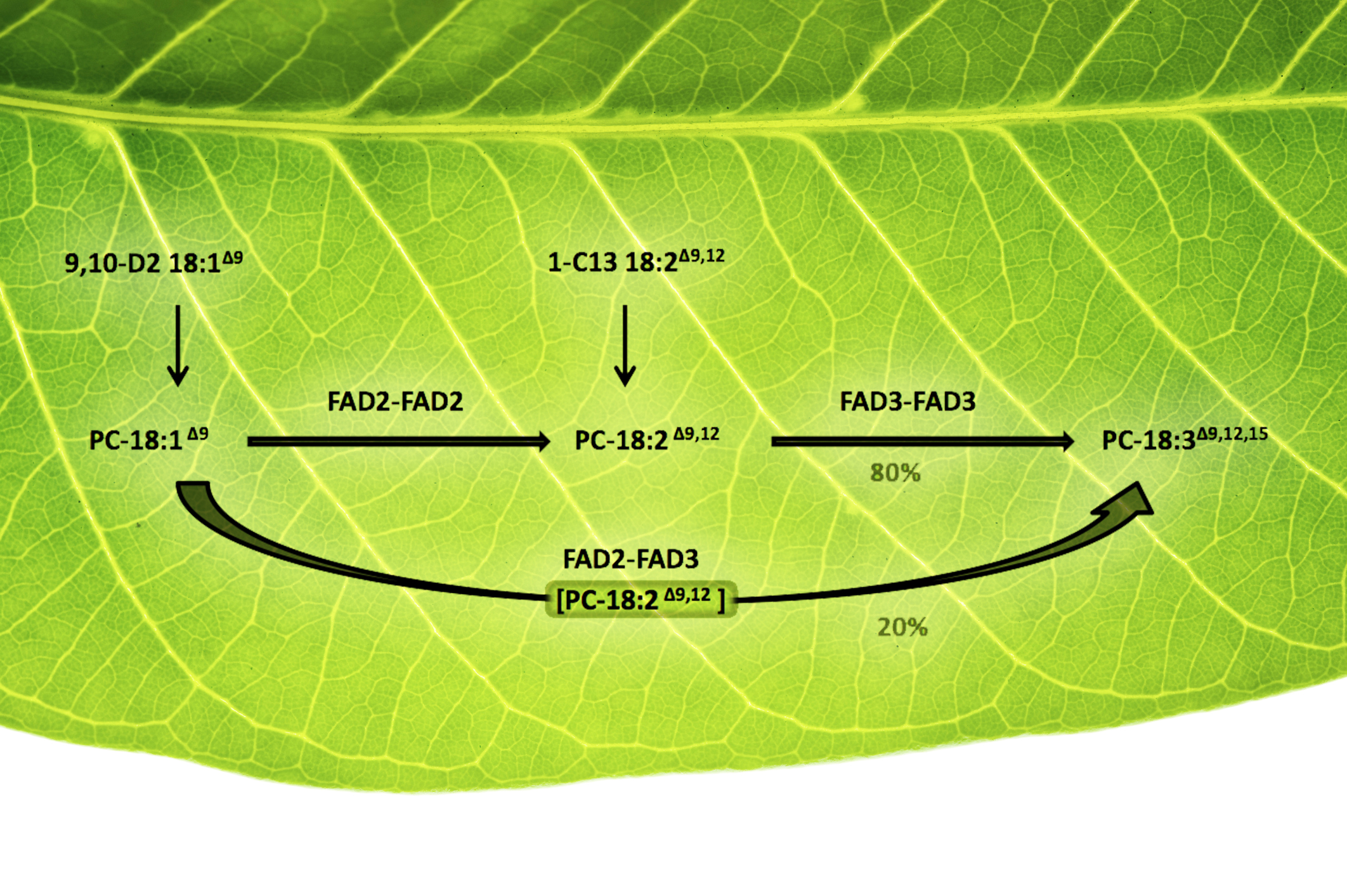 Plants' Oil-Desaturating Enzymes Pair Up to Channel Metabolites | BNL  Newsroom