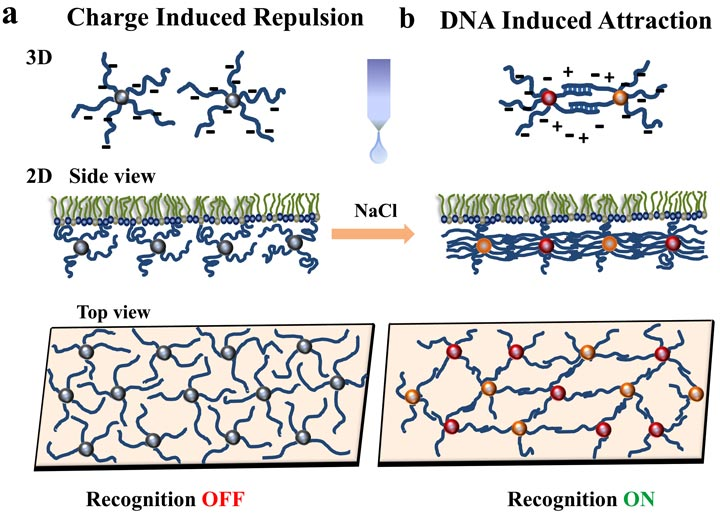 DNA-functionalized nanoparticles