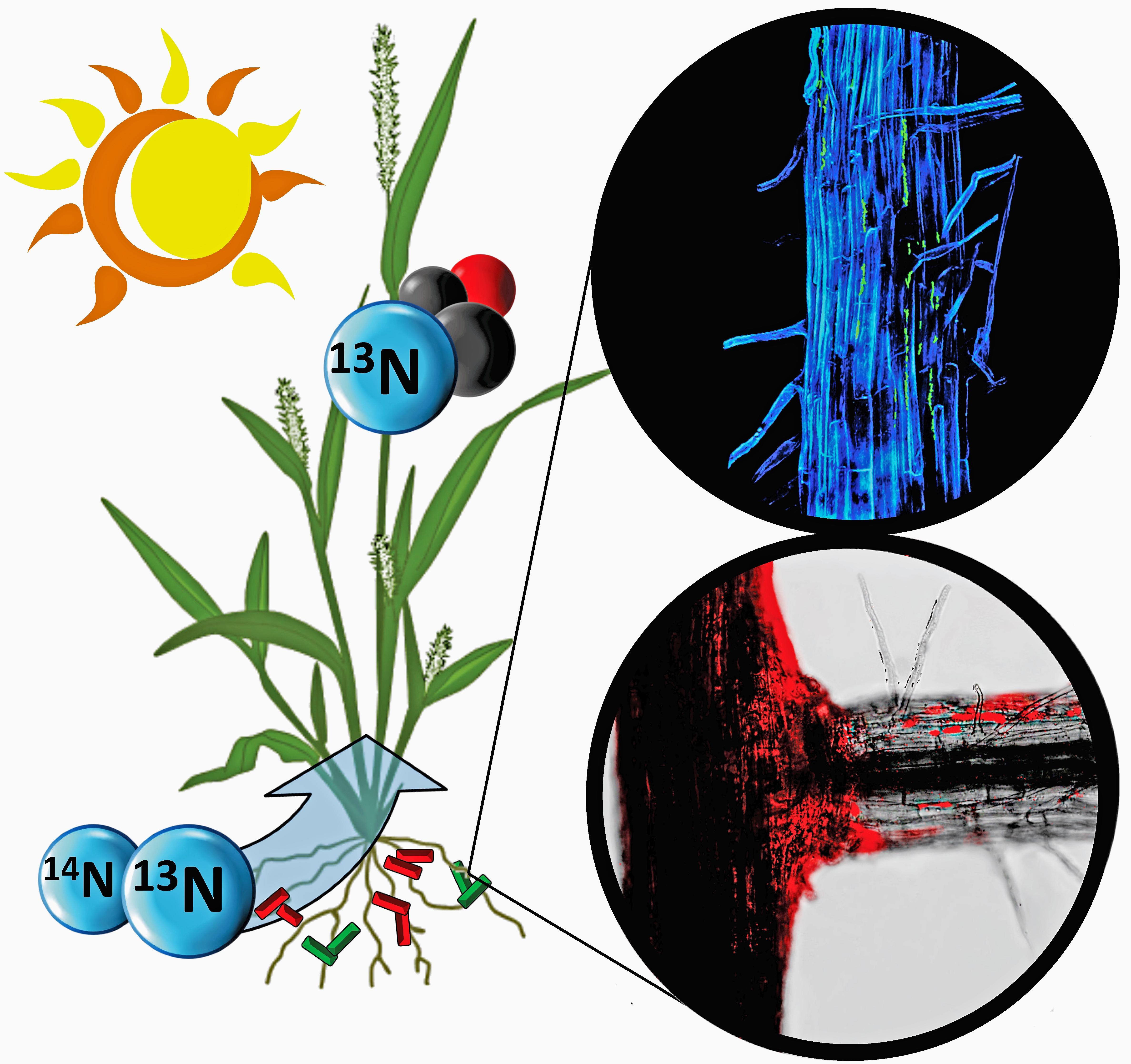 bacteria tracked feeding nitrogen to nutrient-starved plants | bnl