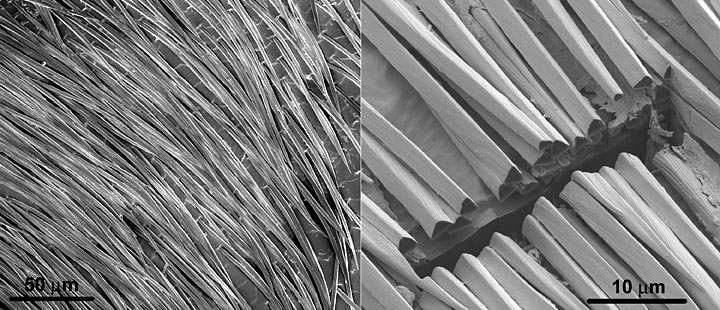 Scanning electron micrographs of the hair coating on the silver ant
