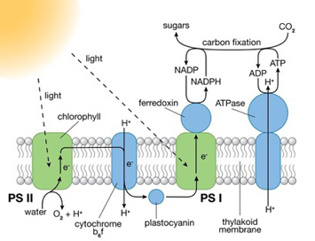 depiction of natural photosynthesis