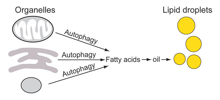 Schematic showing how  Brookhaven Lab scientists discovered a key role for autophagy in oil biosynth
