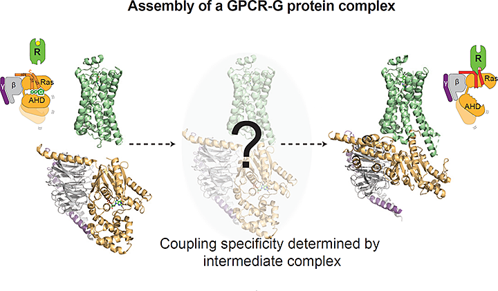 Assembly of a GPCR-G protein complex