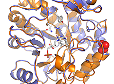Superimposed x-ray crystal structures of GluER-T36A and GluER with the T36A mutation highlighted in