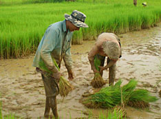 rice crops