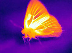 Thermal camera of a hickory hairstreak (Satyrium caryaevorus) basking in the sun