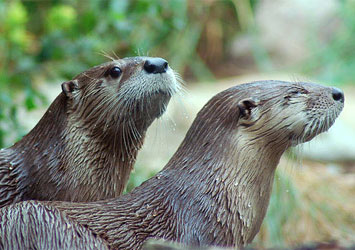 Long Island River Otters